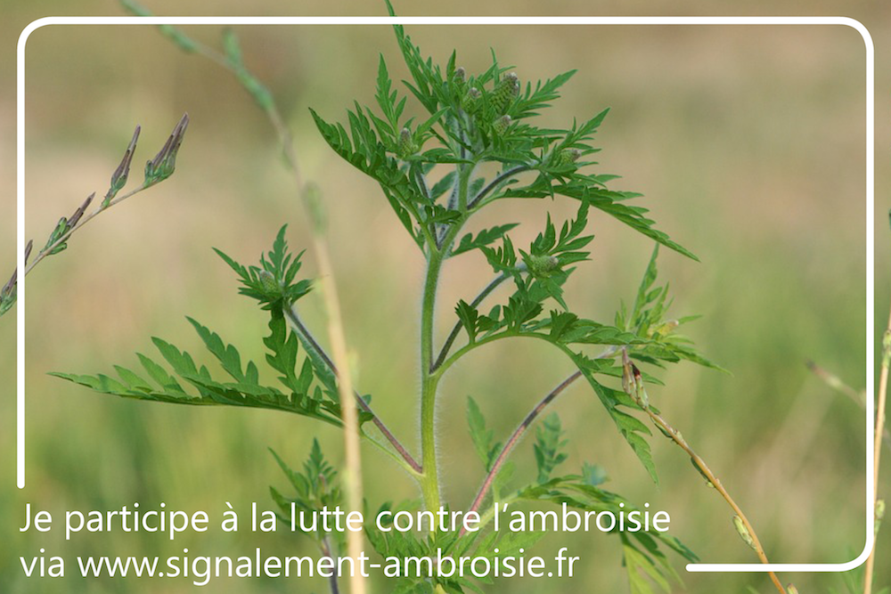 ambroisie_plante
