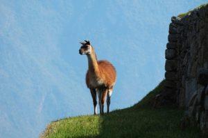 Mythique Lama au cœur de la Cordillère (©rux1984– Pixabay).