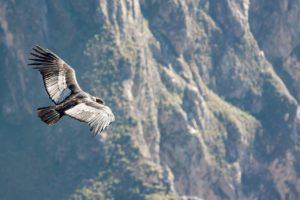 Le Condor des Andes (©jmarti20 – Pixabay).
