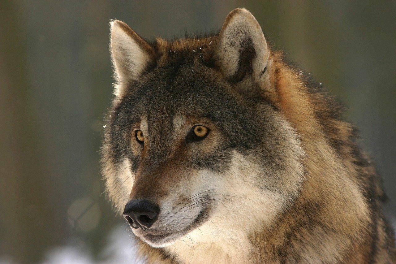 Loup (pixabay – steffiheufelder)