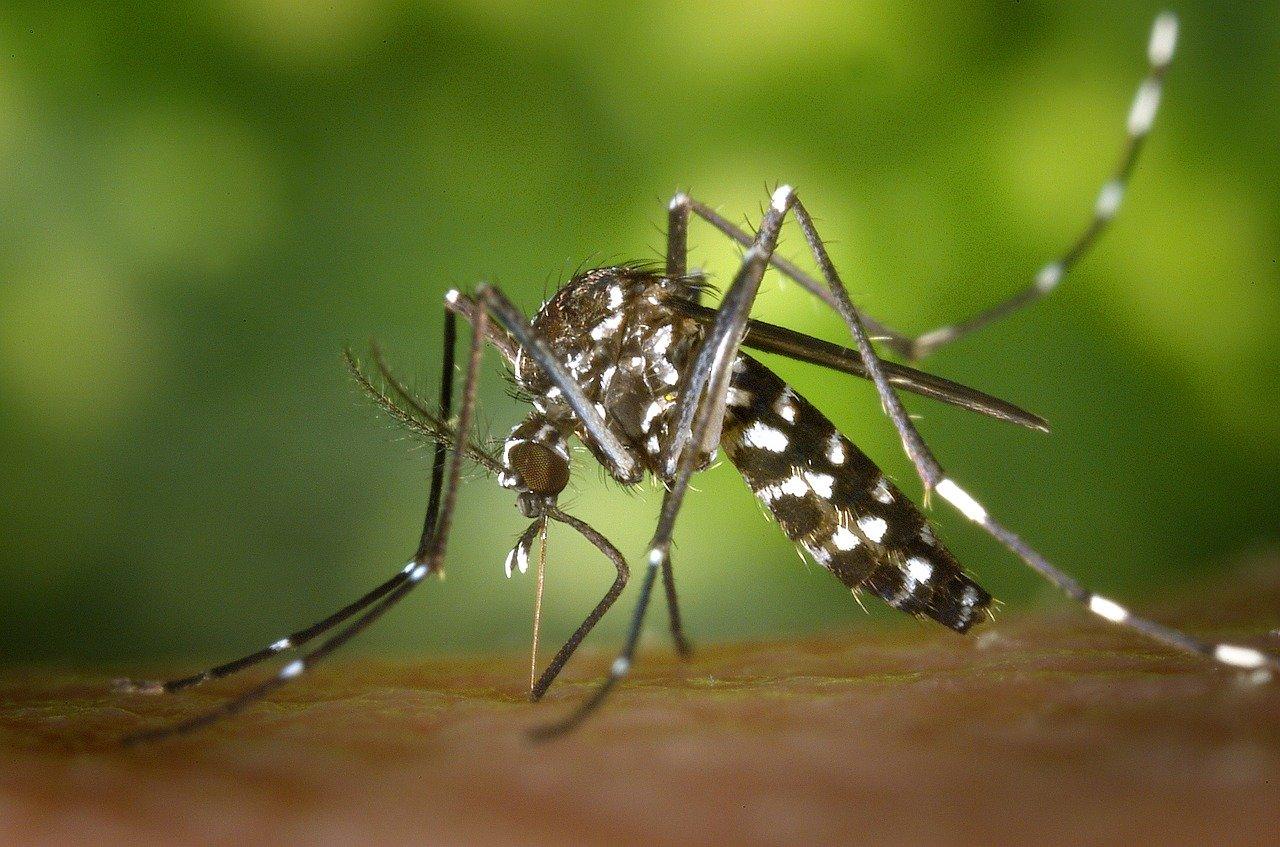 moustique-tigre (WikiImages de Pixabay)