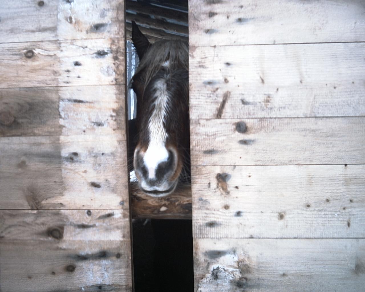 Un cheval comtois dans une cabane
