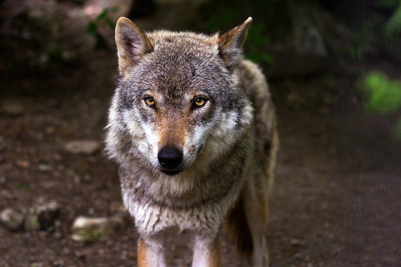 Attaque d'un loup : tirs de défense autorisés en Haute-Saône