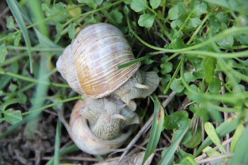 Le conservatoire botanique national de Franche-Comté - observatoire régional des invertébrés organise une enquête participative, s'appuyant sur les observations des habitants, pour mieux connaître 4 espèces d'escargots des jardins de Bourgogne-Franche-Comté.