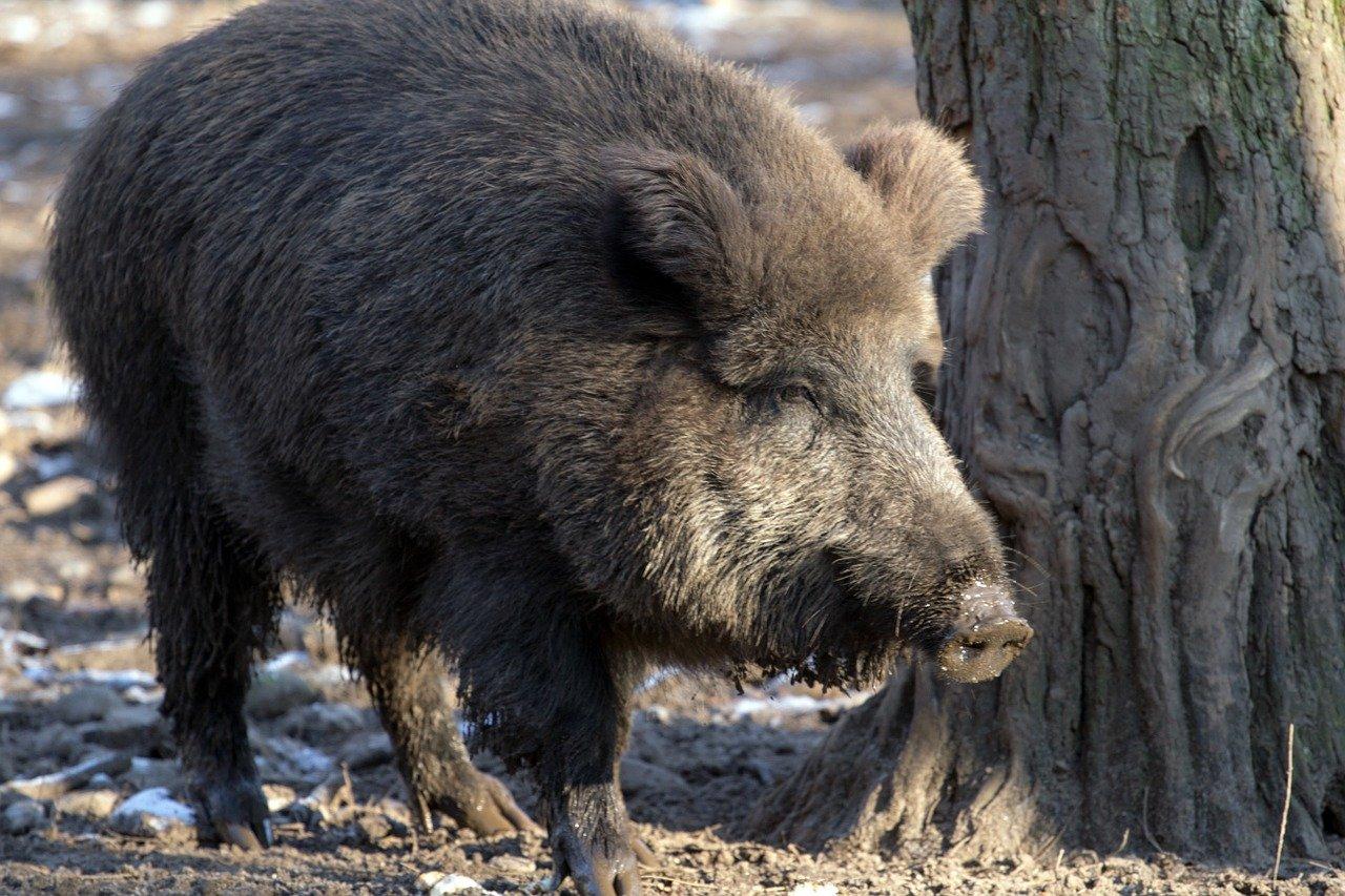 Les préfecture de Haute-Saône et du Territoire de Belfort ont accordé des dérogations aux chasseurs pour réguler la faune sauvage, notamment les populations de sangliers et de cervidés.