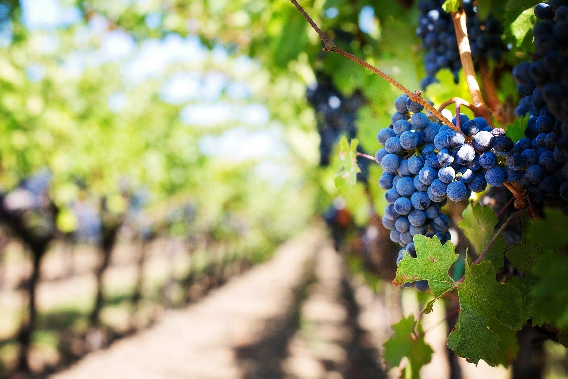 Retarder la taille de la vigne réduit considérablement les conséquences du gel sur le rendement. (illustration Jill Wellington de Pixabay )